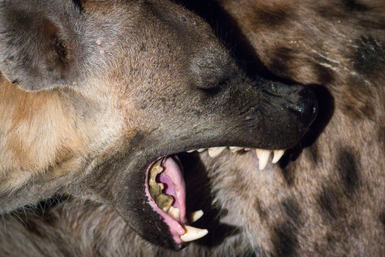 Spotted hyena with dental issues