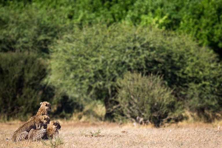 Cheetah cubs stalking impala (momma cheetah is running point, several meters in front of them)