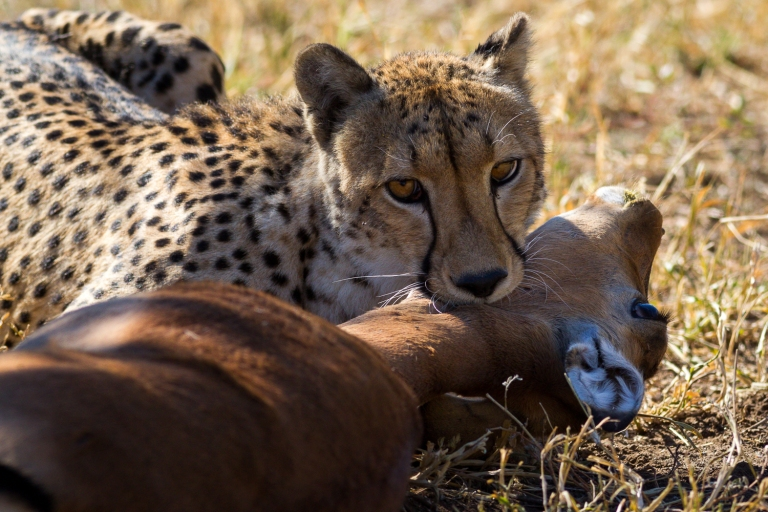 Momma cheetah helping a female impala go gently into that goodnight