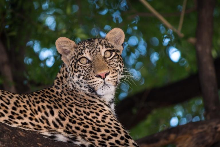 Leopard in mashatu tree
