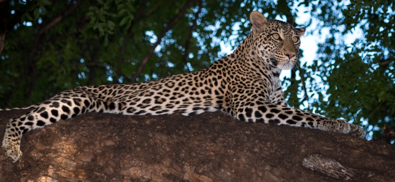 Leopard in mashatu tree